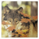 Wolf (Canis lupus) with autumn colour, Canada Large Square Tile