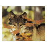 Wolf (Canis lupus) with autumn colour, Canada Poster