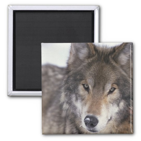 Wolf Close-Up Square Magnet