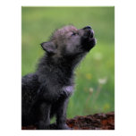 Wolf Cub Howling Poster