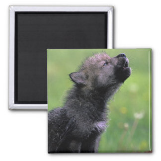 Wolf Cub Howling Square Magnet