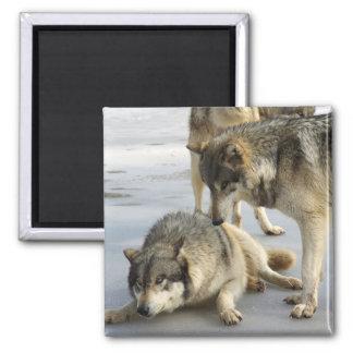 Wolf Discipline Square Magnet