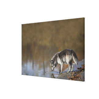 Wolf Drinking Water From A Pond Stretched Canvas Prints