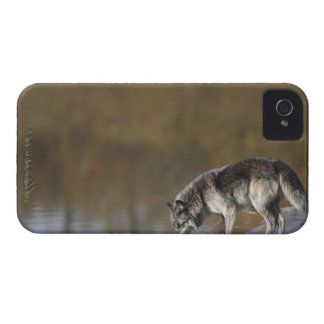 Wolf Drinking Water From A Pond iPhone 4 Case