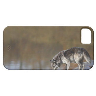 Wolf Drinking Water From A Pond iPhone 5 Cover