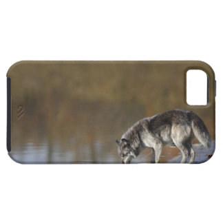 Wolf Drinking Water From A Pond iPhone 5 Covers
