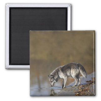 Wolf Drinking Water From A Pond Square Magnet