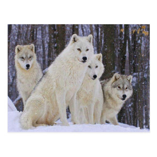 Wolf Family Postcard