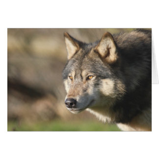 Wolf head shot card