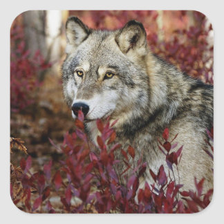 Wolf in red foliage square sticker