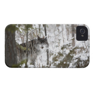 Wolf In The Forest In Winter iPhone 4 Cases