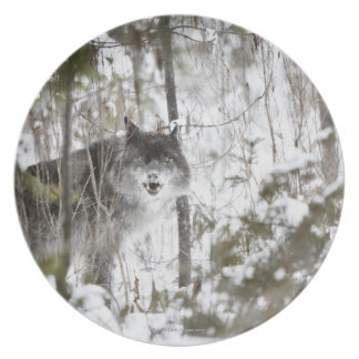 Wolf In The Forest In Winter Plates