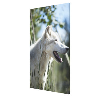 Wolf in Yellowstone. Canvas Print