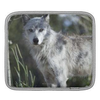 Wolf in Yellowstone iPad Sleeve
