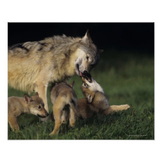 Wolf mother with young pups poster