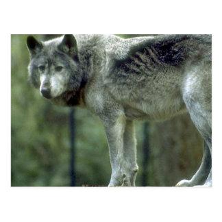 Wolf on a Tree Stump Postcard