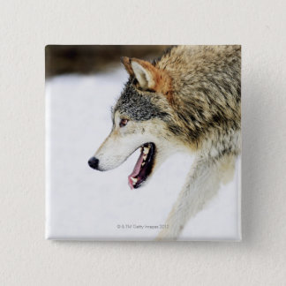 Wolf on the prowl 15 cm square badge