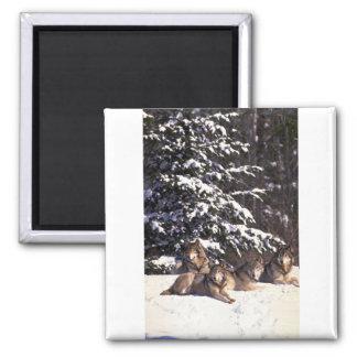 Wolf pack at edge of snowy woods square magnet
