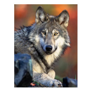 Wolf Photograph Post Card