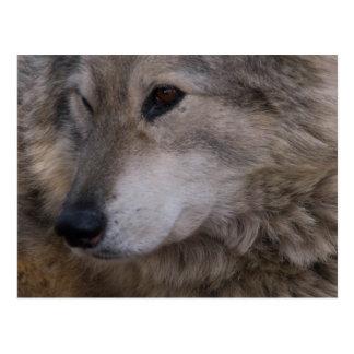 Wolf Portrait Postcard
