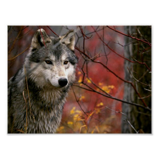 Wolf Posters