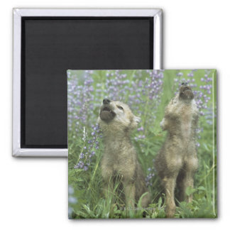 Wolf Puppies Howling In Meadow Fridge Magnet