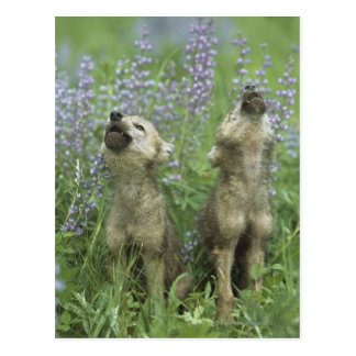 Wolf Puppies Howling In Meadow Postcard