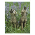 Wolf Puppies Howling In Meadow Poster