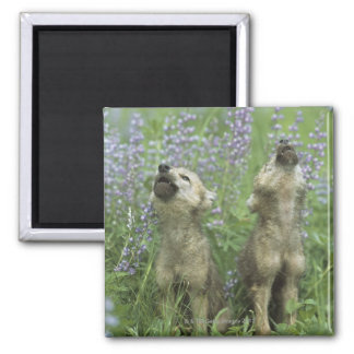 Wolf Puppies Howling In Meadow Square Magnet