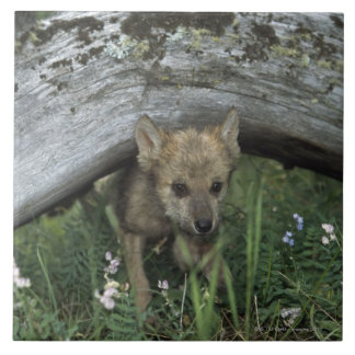 Wolf Puppy Going Under Log Tile