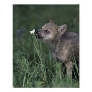 Wolf Puppy Sniffing Mountain Wildflower Poster