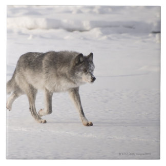 Wolf running in the snow tile