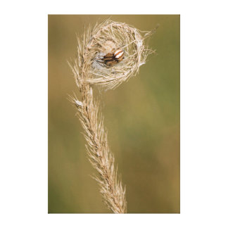Wolf Spider Making A Web On The Grass Stalk Stretched Canvas Print