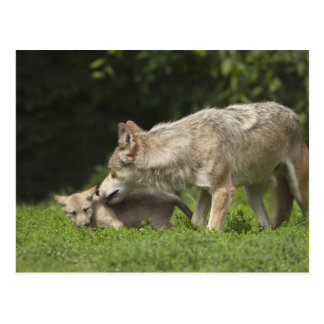 Wolf with Pup Postcard