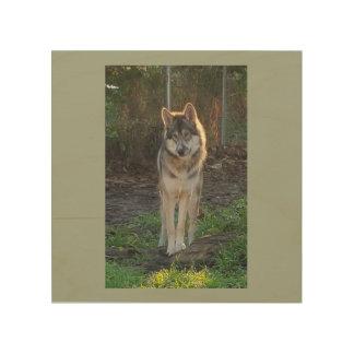 Wolfdog in sunlight wood prints