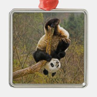 Wolong Panda Reserve, China, 2 1/2 yr old Christmas Ornament