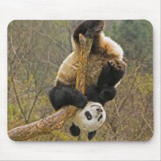 Wolong Panda Reserve China 2 1 2 yr old Mouse Pads