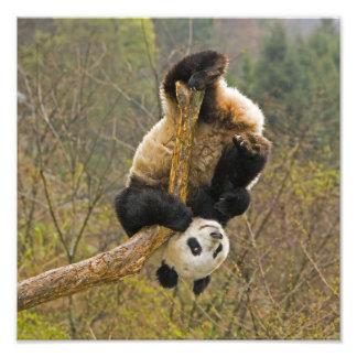 Wolong Panda Reserve, China, 2 1/2 yr old Photograph