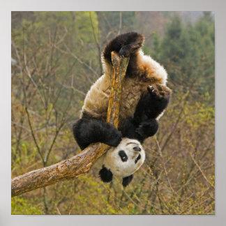 Wolong Panda Reserve, China, 2 1/2 yr old Poster