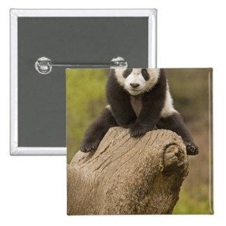 Wolong Panda Reserve, China, Baby Panda on top 15 Cm Square Badge