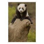 Wolong Panda Reserve, China, Baby Panda on top Poster