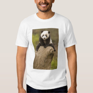 Wolong Panda Reserve, China, Baby Panda on top Shirt