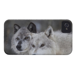 Wolves (Canus lupus) from West Yellowstone. This iPhone 4 Covers
