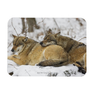 Wolves in the Bawarian Wood Rectangular Photo Magnet