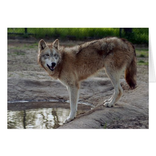 Wolves Wolf Greeting Card or Note Card