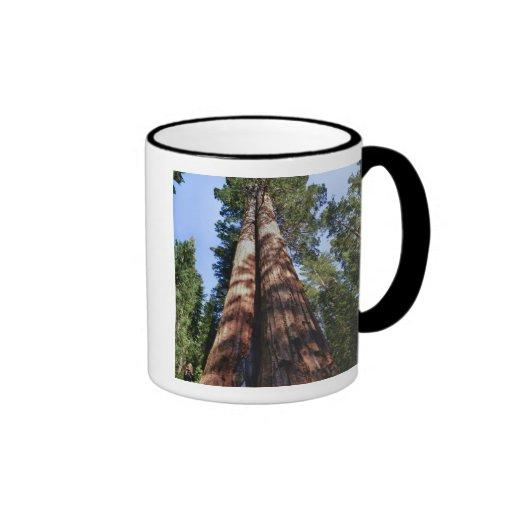 Woman videotaping at base of massive Sequoia Mug