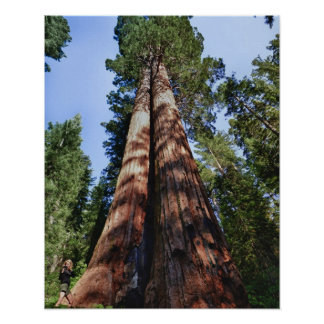 Woman videotaping at base of massive Sequoia Poster