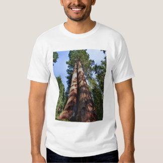 Woman videotaping at base of massive Sequoia T Shirts