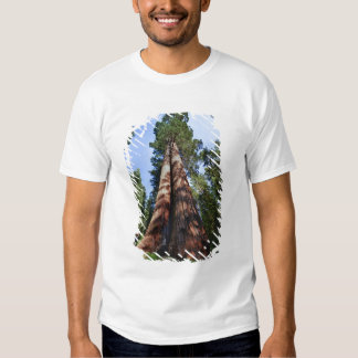 Woman videotaping at base of massive Sequoia Tshirts