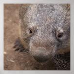 Wombat Kiss Posters